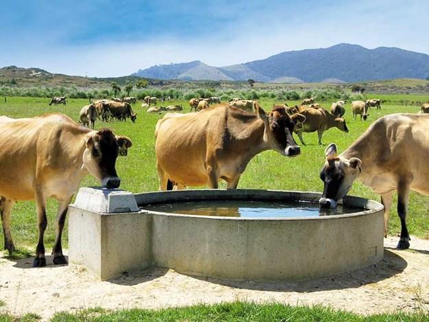Dairy_cattle_on_summer_pasture---heat-stress-2.jpg