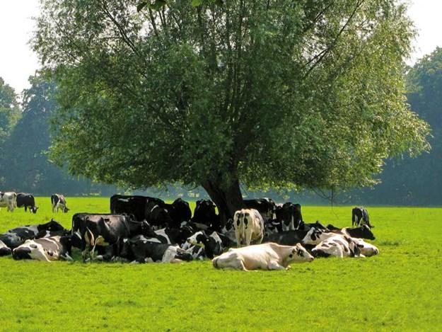 Dairy_cattle_on_summer_pasture---heat-stress.jpg