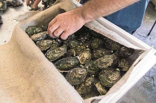 Ewan Mc Ash Oysters