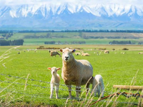 New -zealand -farming