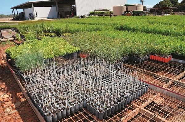 Sandalwood Seedlings