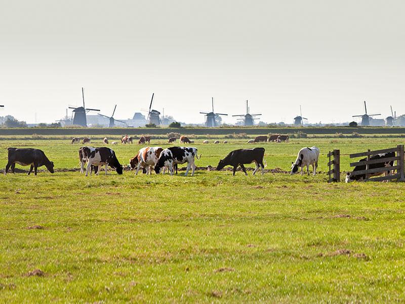 Cows in meadow near Kinderdijk in The Netherlands